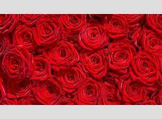 Rose flowers flower roses bokeh landscape nature garden