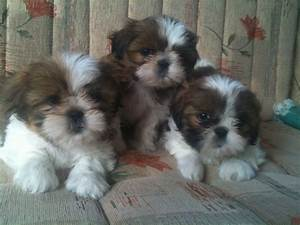The gallery for --> Newborn Shih Tzu Puppies