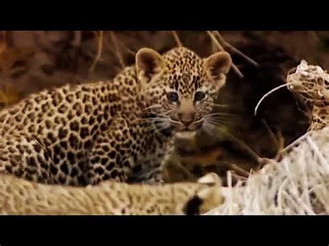 leopard cubs learn  climb  big cat bbc youtube