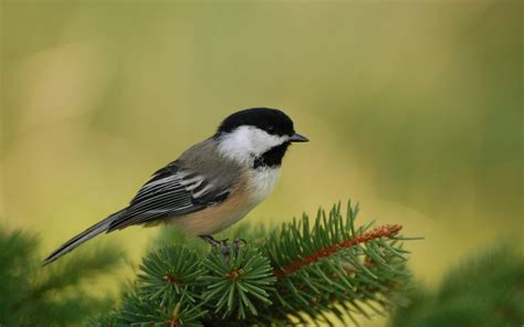 massachusetts state bird the chickadee my heart is in