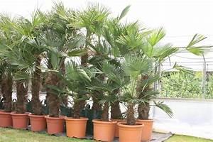 Trachycarpus Fortunei Auspflanzen : trachycarpus wagnerianus ~ Eleganceandgraceweddings.com Haus und Dekorationen
