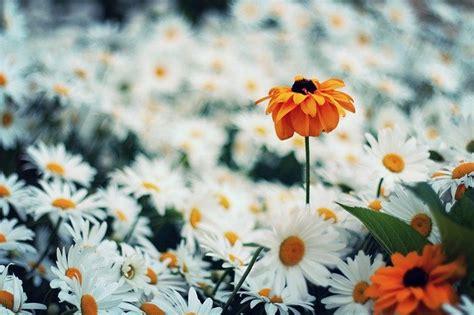 daisy flower nature  photo  pixabay