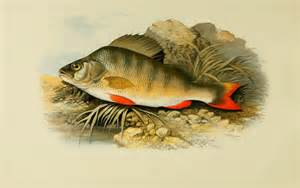 Perch Freshwater Fish
