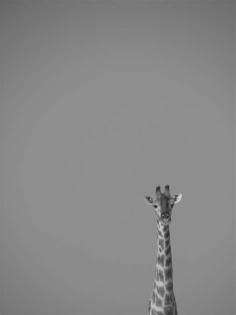 giraffe  grayscale effect portrait  stock photo