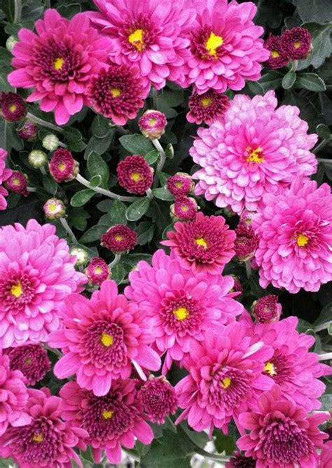 hardy mums 17 best images about hardy mums on pinterest plugs live plants and hardy mums