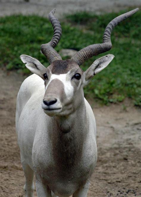addax zoo antelope desert brookfield facts useful animals information sahara