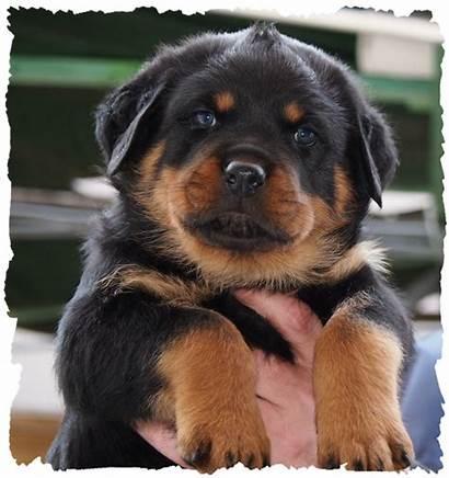 Rottweilerwelpen Welpen Woche Alt Bildern Wurf Puppies