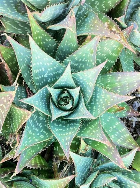 Alluringly Beautiful Crassula Capitella Succulent Cfire Plant For Sale by Fractal Geometry Sacred Geometry In 2019