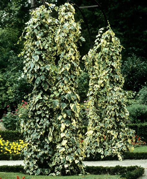 lierre planter et tailler ooreka