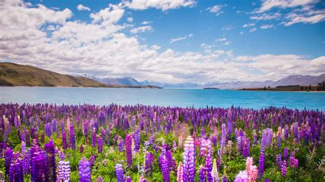 Time Lapse Beautiful Lupine Flowers By Lake Tekapo New
