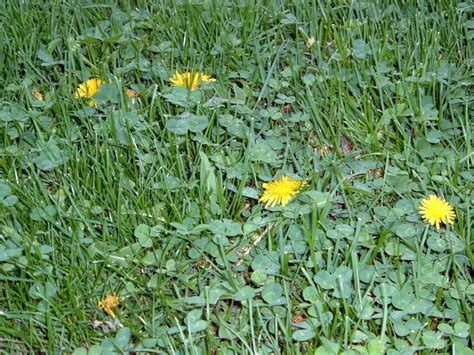 how to get rid of creeping gardening landscaping creeping charlie with yellow flowers how to get rid of creeping