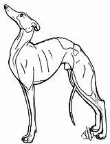 Greyhound Whippet Italian Lineart Drawing Template Dog Deviantart Coloring Sketch Drawings sketch template