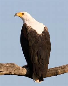 The African Fish Eagle Versus The Bald Eagle | Nyika Silika