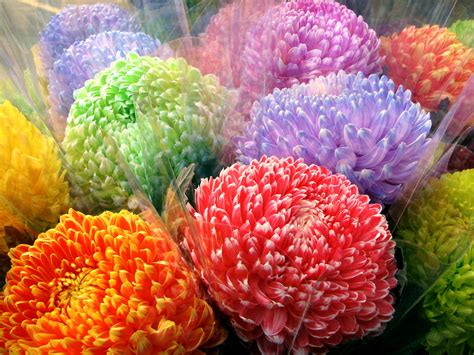 flower colors colorful mums flowers pinterest