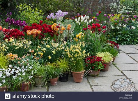 mixed tulips daffodils perennial group containers pots