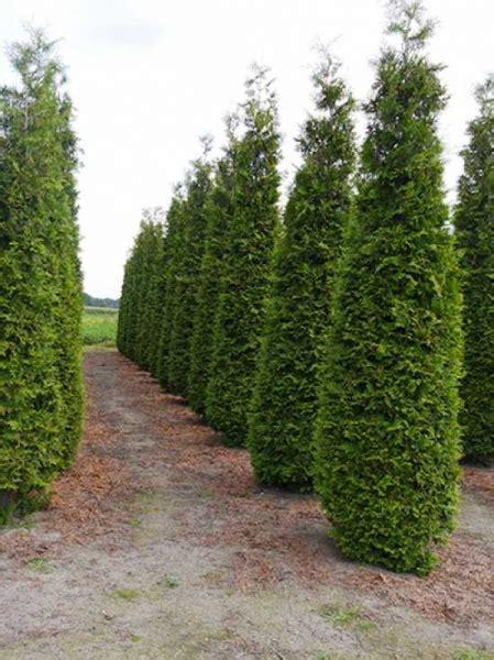 Smaragd Oder Brabant by Thuja Occidentalis Brabant Lebensbaum Brabant 400