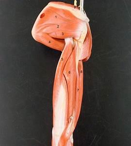 Anatomy Lab Photographs Upper Limb Muscles