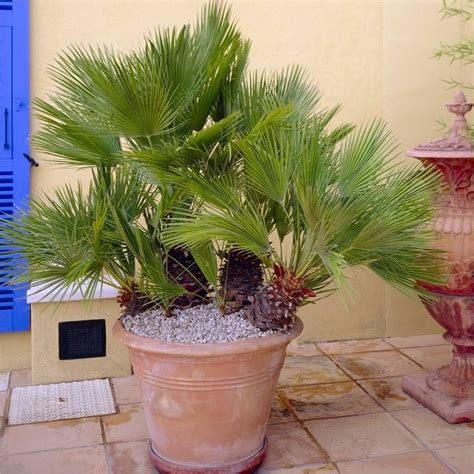 hardy mediterranean plants chamaerops humilis hardy mediterranean fan palm 60 70cms tall
