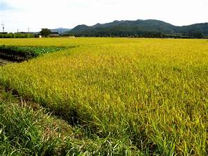 rice paddy fields | Coco Busan