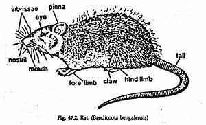 Mammalian Grain Pest  With Diagram