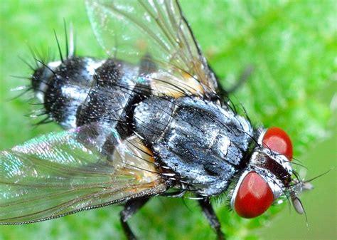 grey hairy tachinid fly