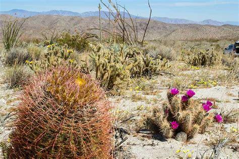 desert plants desert plants cactus wildflowers flora desertusa