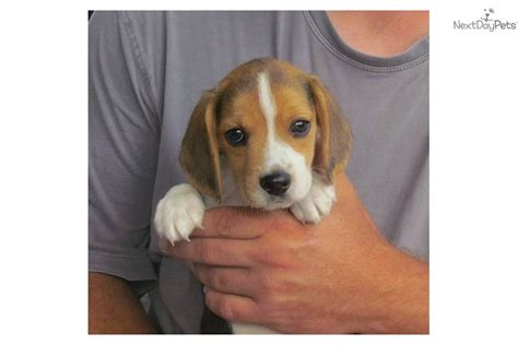 Beagle Puppy For Sale Near Lynchburg, Virginia Adjust Garage Door Spring Protection From Dogs Jeep Wrangler 4 Accessories Shower Barn Exterior Security Doors Storm Replacement Glass Top Hung Internal Sliding 12