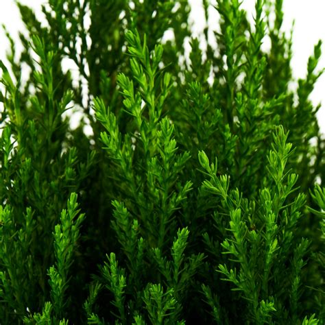european cypress plants wholesale coastal nursery