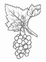 Grapes Coloring Pages Gooseberry Colouring Fruits Longan Drawing Fruit Printable sketch template