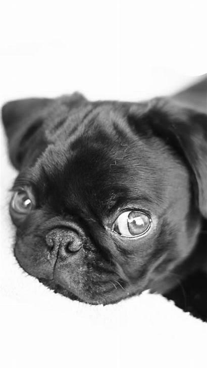 Pug Puppies Pugs Wallpapers Iphone Puppy Desktop