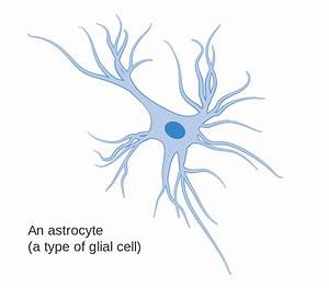File:Diagram of an astrocyte - a type of glial cell CRUK ...