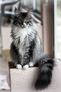 Maine coon cattery spijkenisse - adoptable maine coon cats