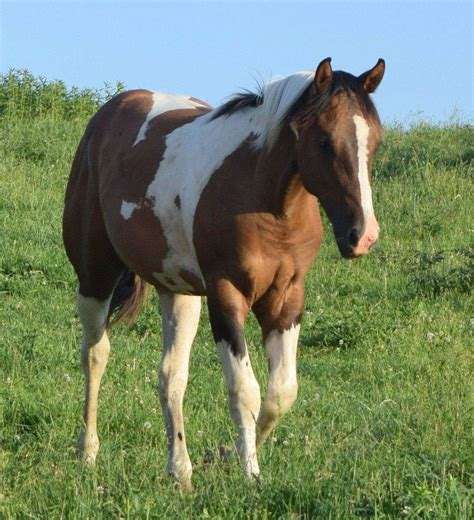 horses quarter paints wisconsin equinenow stallions farm aqha equine apha farms standing