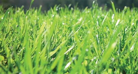 lawn growing guide tui   prepare plant grow