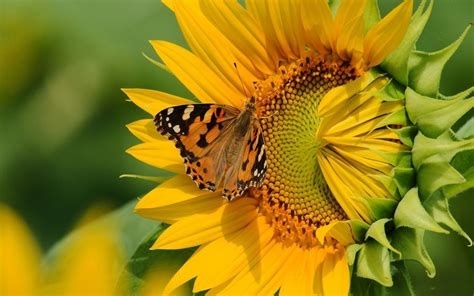 sunflower hd wallpaper butterfly   wallpaperscom