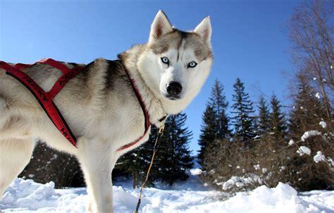 husky adventures  dog sledding  tatra mountain