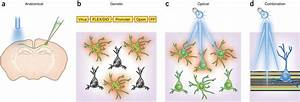 Intersectional Strategies For Targeting Optogenetic