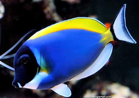 poisson chirurgien biologie aquarium dangerosit 233