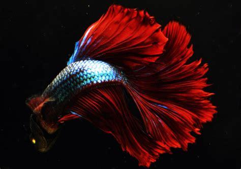 pez betta dragon todo lo  debes saber sobre esta especie