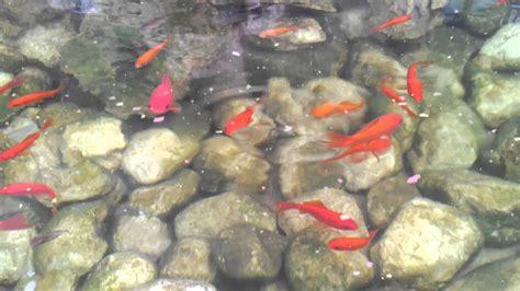 pesci da laghetto giardino il mio laghetto da giardino