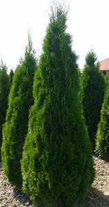 Thuja Smaragd Düngen : thuja smaragd plants you may like to plant in your ~ Michelbontemps.com Haus und Dekorationen