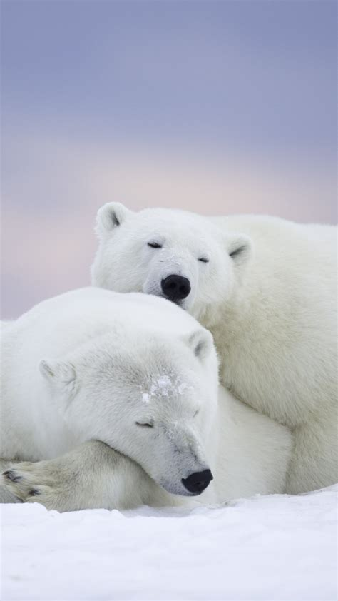 wallpaper polar bears cute animals winter  animals