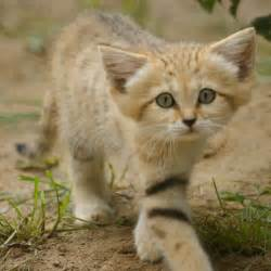 sand cat for sand cat facts diet pictures adaptations and predators