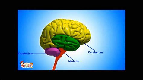medulla brain stem functions video  kids