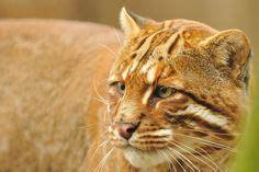 Best Asiatic Golden Cat Images Big Cats Tigers