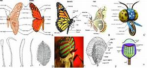 Parts Of Lepidoptera Body   A And B  Butterfly And Moth   C  Generalize