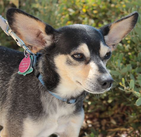 Do Miniature Pinscher Mix Shed by Miniature Pinscher Mix With Chihuahua Breeds Picture