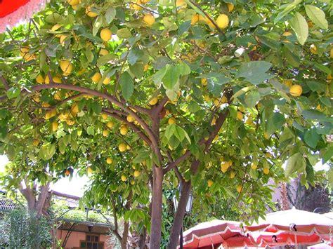 entretien plantation citronniers citronnier en 28 images citronnier planter et entretenir