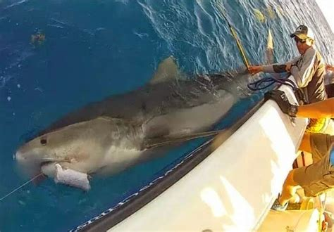shark tiger florida sharks texas huge caught feet attacks fishing biggest largest ever giant fish attack australia pound released kilo