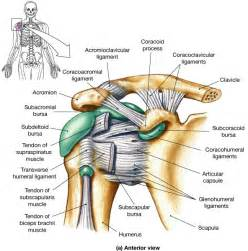 Shoulder Tendons and Ligaments